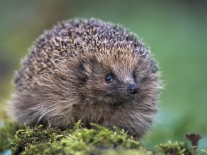 a98/02/erieur/025.jpg - Hedgehog in spring woodland, Scotland