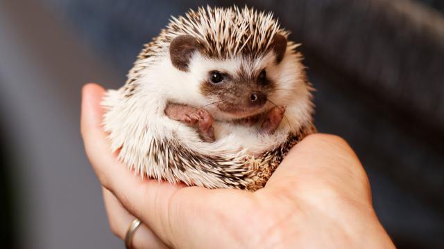 Nerts en witbuikegel mogen gehouden worden als huisdier