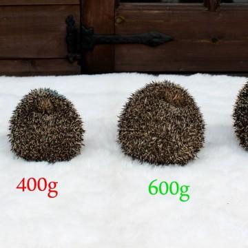 Hoe groot moet een egel zijn?