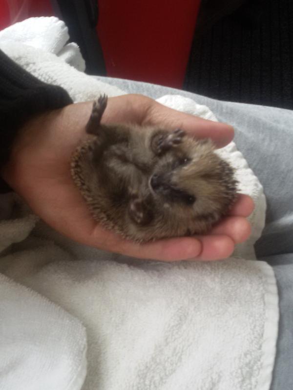 De eerste baby-egels!