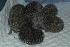 Baby-egels