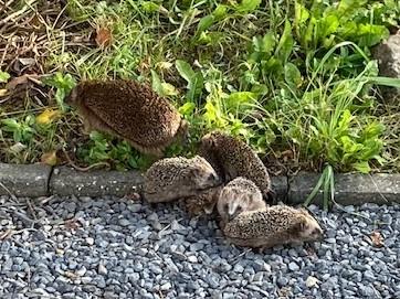 Help er lopen jonge egels in mijn tuin!